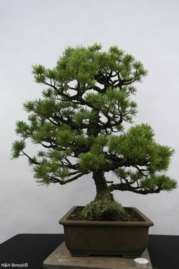 Bonsai Pin blanc du Japon, Pinus pentaphylla sp., no. 6433