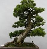 Bonsai Pinus pentaphylla, Japanse witte den, nr. 6434