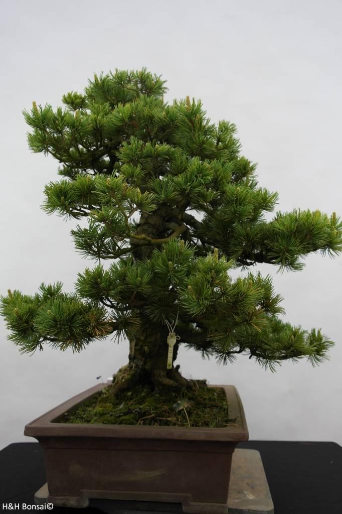 Bonsai Pin blanc du Japon, Pinus pentaphylla, no. 6434
