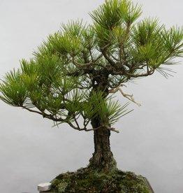 Bonsai Pinus thunbergii, Japanse zwarte den, nr. 6435
