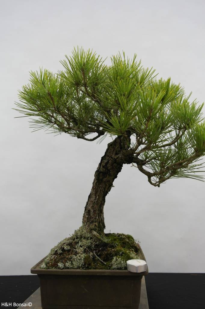 Bonsai Schwarzkiefer, Pinus thunbergii, nr. 6435