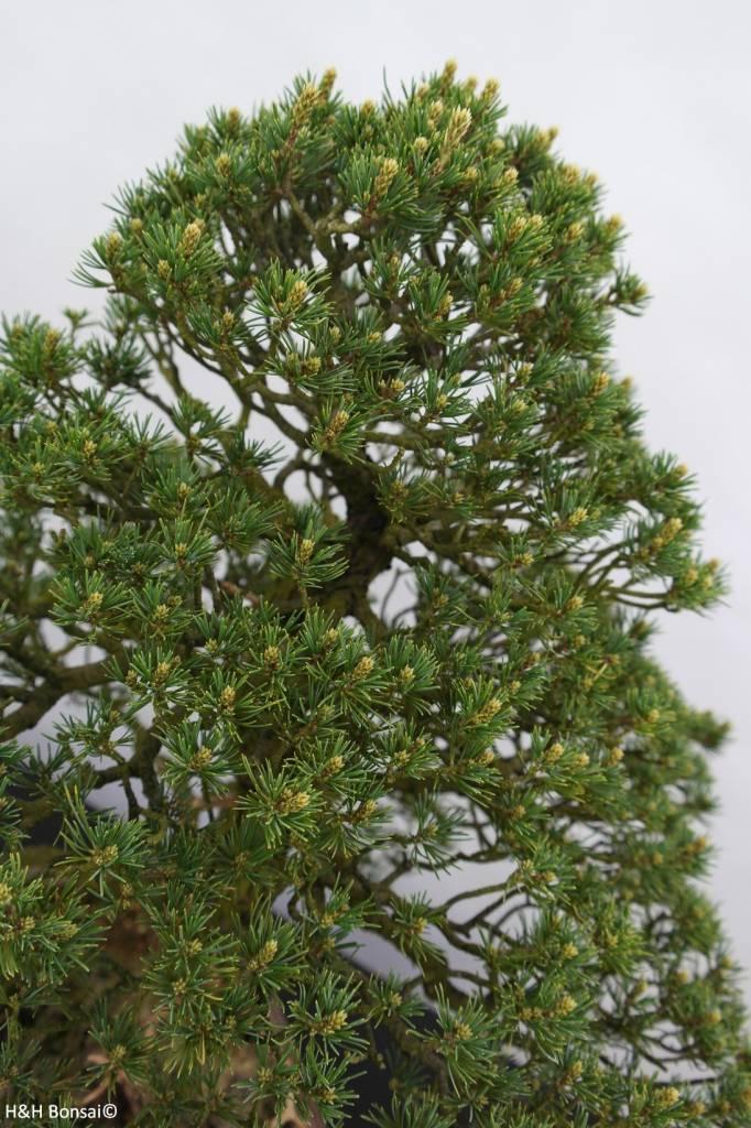 Bonsai Pinus parviflora kokonoe, Japanse witte den, nr. 6436