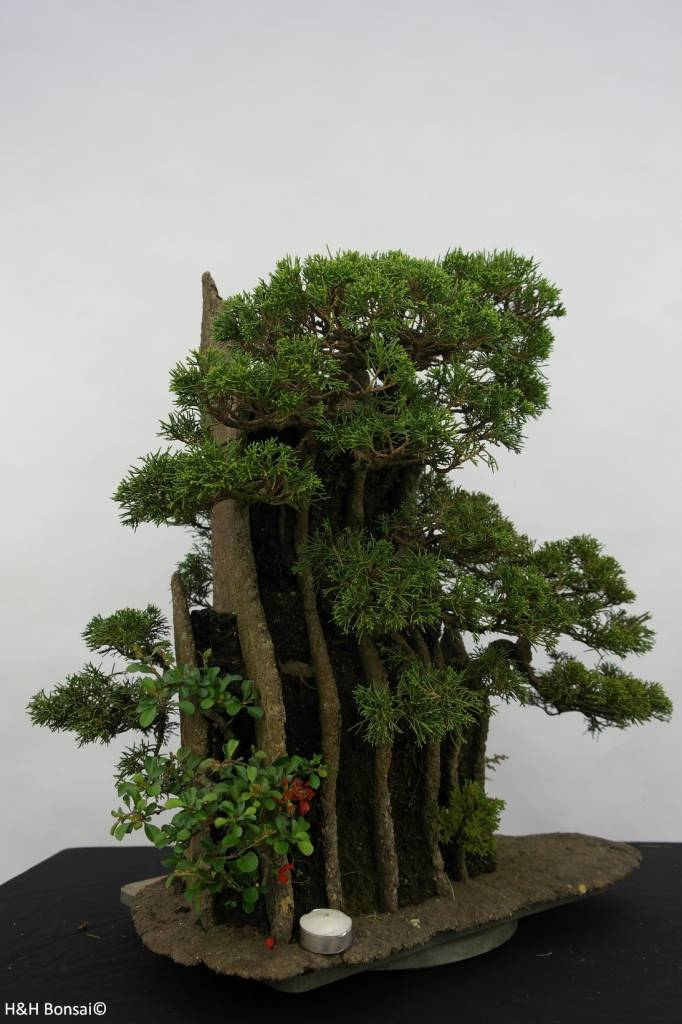 Bonsai Genévrier de Chine, Juniperus chinensis, no. 6437
