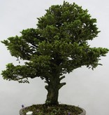Bonsai Picea sp., Spar, nr. 6438