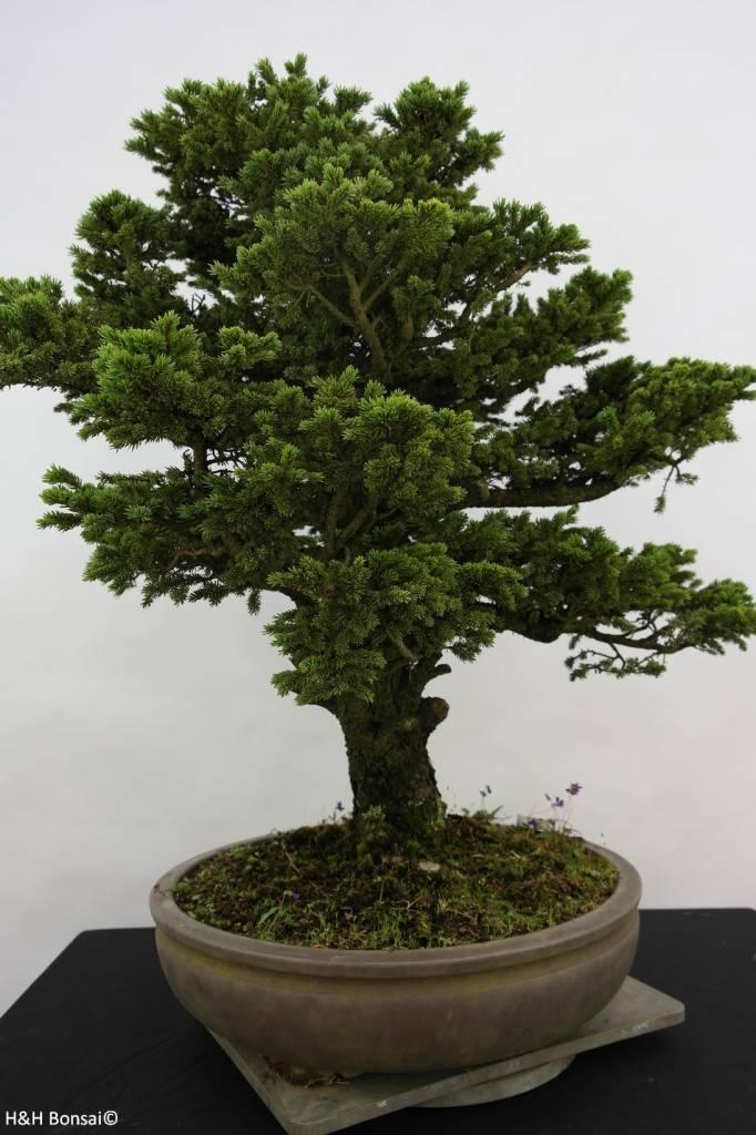Bonsai Fichte, Picea sp., nr. 6438