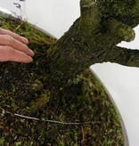 Bonsai Epicéa,Picea sp., no. 6438