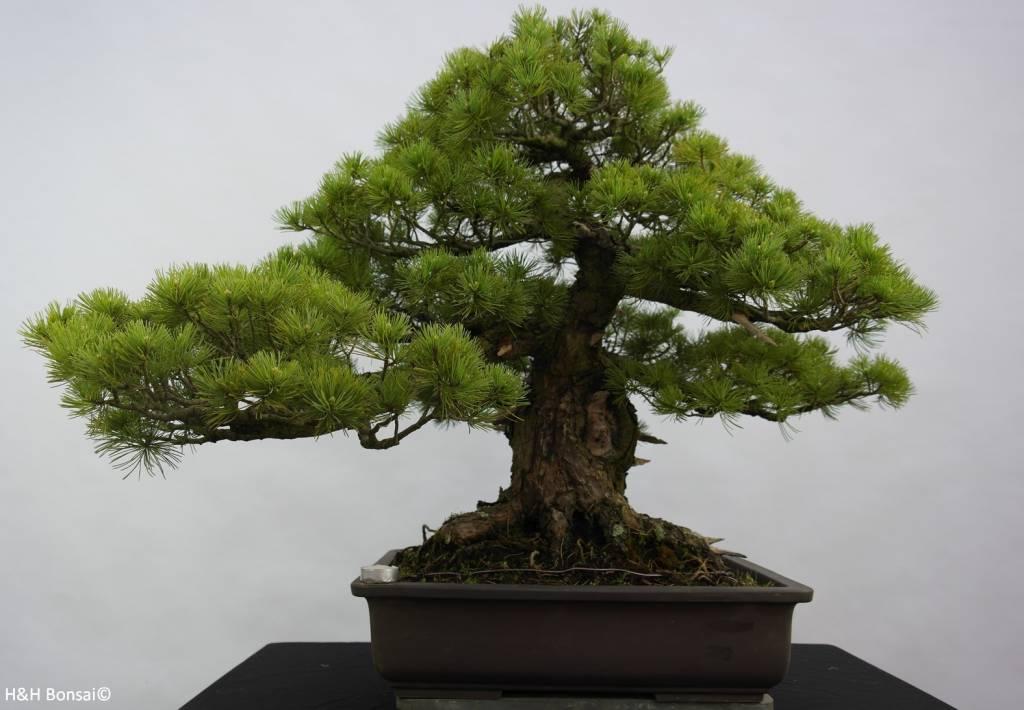 Bonsai Pinus parviflora azuma, Japanse witte den, nr. 6440