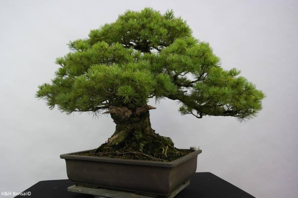 Bonsai Mädchenkiefer azuma, Pinus parviflora azuma, nr. 6440