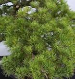 Bonsai Pin blanc du Japon azuma, Pinus parviflora azuma, no. 6440