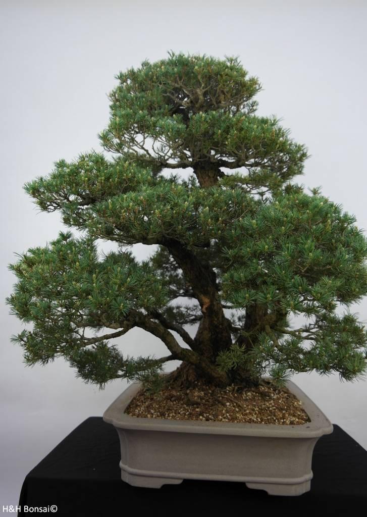 Bonsai Pin blanc du Japon kokonoe, Pinus parviflora kokonoe, no. 6452