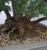 Bonsai Mädchenkiefer kokonoe, Pinus parviflora kokonoe, nr. 6452