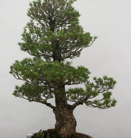 Bonsai Pinus parviflora kokonoe, Japanse witte den, nr. 6454