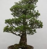 Bonsai Pin blanc du Japon kokonoe, Pinus parviflora kokonoe, no. 6454