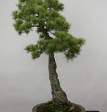 Bonsai Japanese White Pine, Pinus pentaphylla, no. 6455