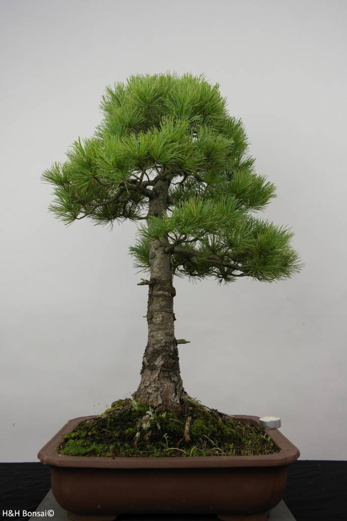 Bonsai Mädchenkiefer azuma, Pinus parviflora azuma, nr. 6456