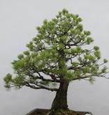 Bonsai Pin blanc du Japon, Pinus pentaphylla, no. 6458