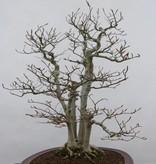 Bonsai Hêtre du Japon, Fagus crenata, no. 6459