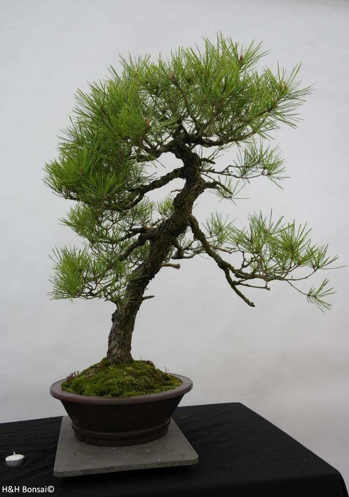 Bonsai Jap. Rotkiefer, Pinus densiflora, nr. 6460