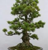 Bonsai Pin blanc du Japon azuma, Pinus parviflora azuma, no. 6462