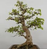 Bonsai Carpinus coreana, Koreaanse Haagbeuk, nr. 5883