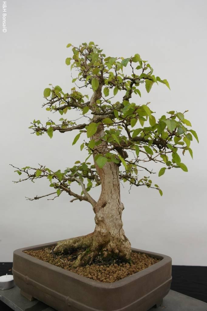 Bonsai Koreanische Hainbuche, Carpinus coreana, nr. 5883