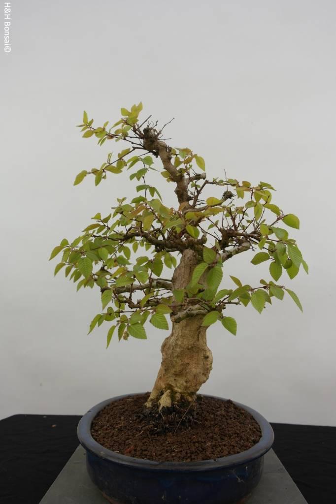 Bonsai Carpinus coreana, Koreaanse Haagbeuk, nr. 5885