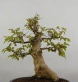 Bonsai Koreanische Hainbuche, Carpinus coreana, nr. 5885