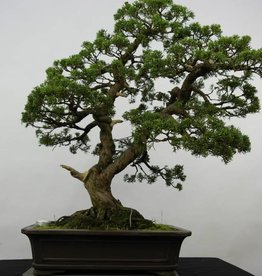 Bonsai Chin. Wacholder, Juniperus chinensis, nr. 6479