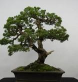 Bonsai Juniperus chinensis, Jeneverbes, nr. 6479