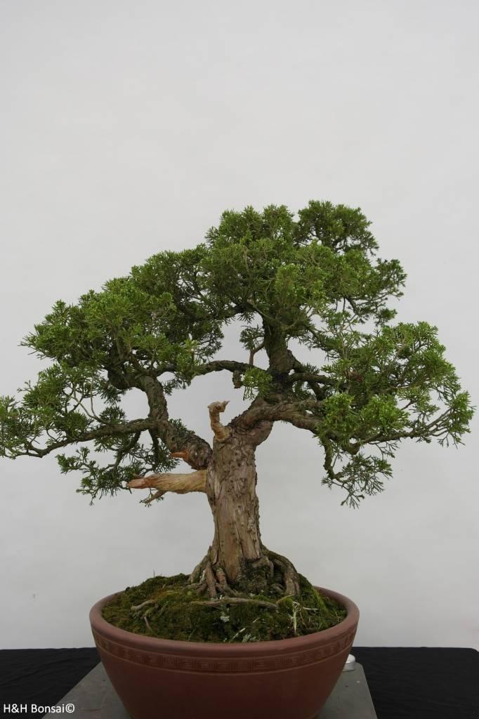 Bonsai Genévrier de Chine, Juniperus chinensis, no. 6483