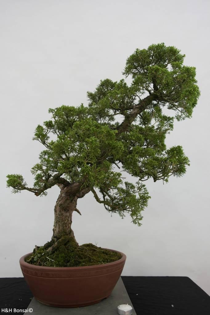 Bonsai Juniperus chinensis, Jeneverbes, nr. 6483