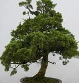 Bonsai Juniperus chinensis, Jeneverbes, nr. 6484