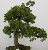 Bonsai Genévrier de Chine, Juniperus chinensis, no. 6484
