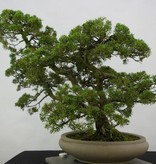 Bonsai Chin. Wacholder, Juniperus chinensis, nr. 6487