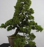 Bonsai Genévrier de Chine, Juniperus chinensis, no. 6489