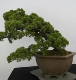 Bonsai Juniperus chinensis, Jeneverbes, nr. 6489