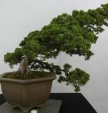 Bonsai Chinese Juniper, Juniperus chinensis, no. 6489