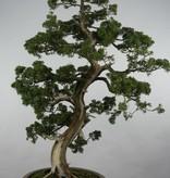 Bonsai Genévrier de Chine, Juniperus chinensis, no. 6492