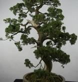 Bonsai Juniperus chinensis, Jeneverbes, nr. 6492