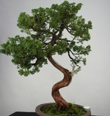 Bonsai Juniperus chinensis, Jeneverbes, nr. 6493