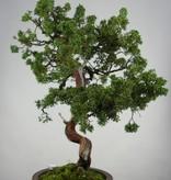 Bonsai Genévrier de Chine, Juniperus chinensis, no. 6493