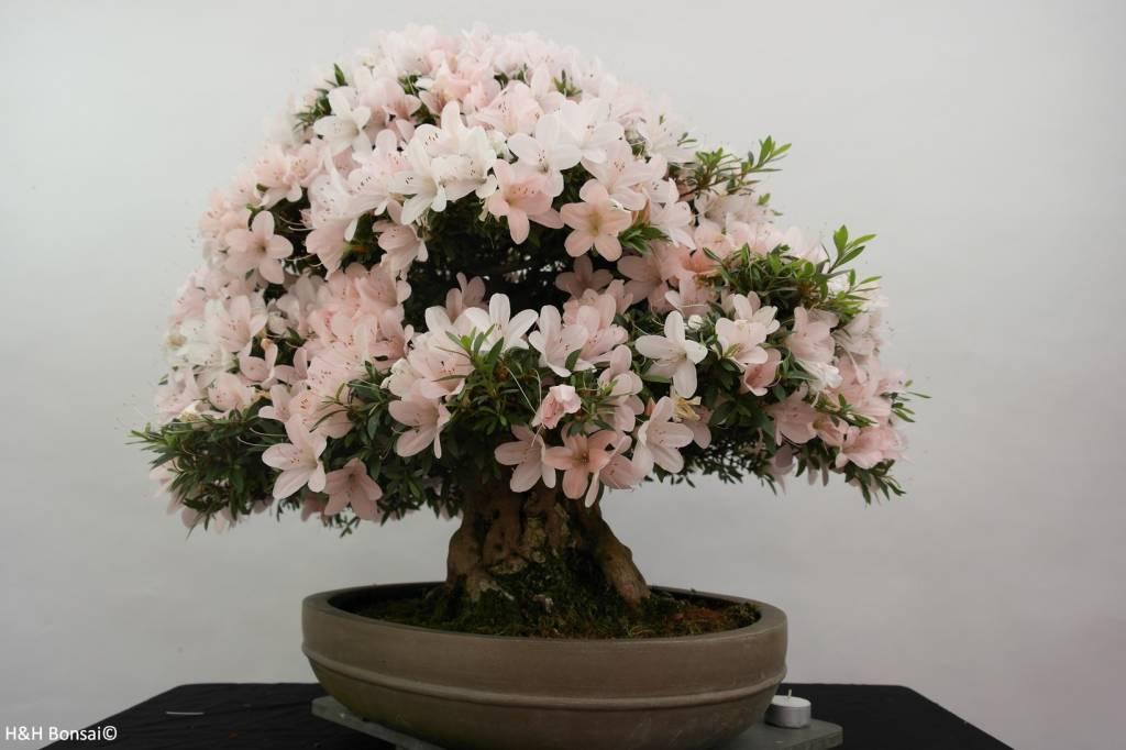 Bonsai Azalee Satsuki, Azalea Satsuki Kozan, nr. 5294