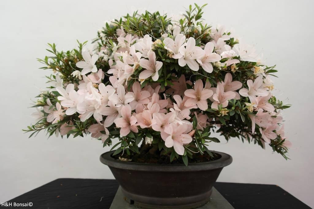 Bonsai Azalée du Japon, Azalea Satsuki Kozan, no. 5190