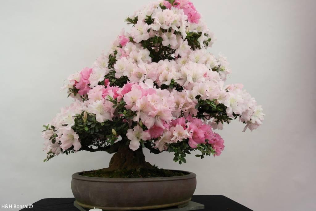 Bonsai Azalea Satsuki Gyoten, nr. 5293