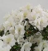 Bonsai Azalea SatsukiKaho, no. 5703