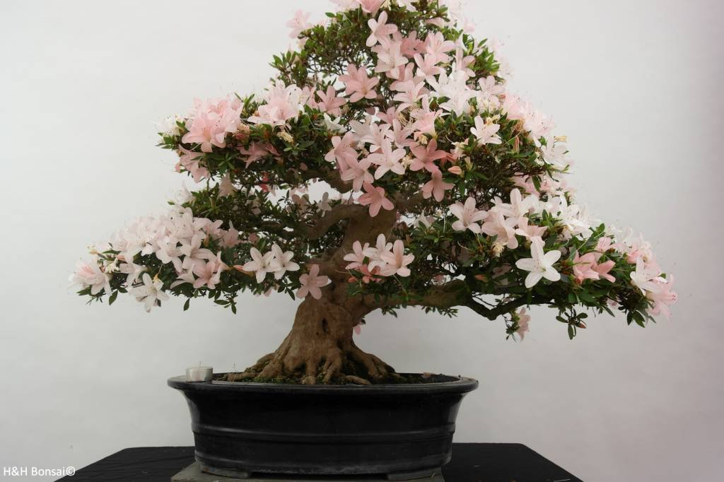 Bonsai Azalée du Japon, Azalea Satsuki, no. 5877