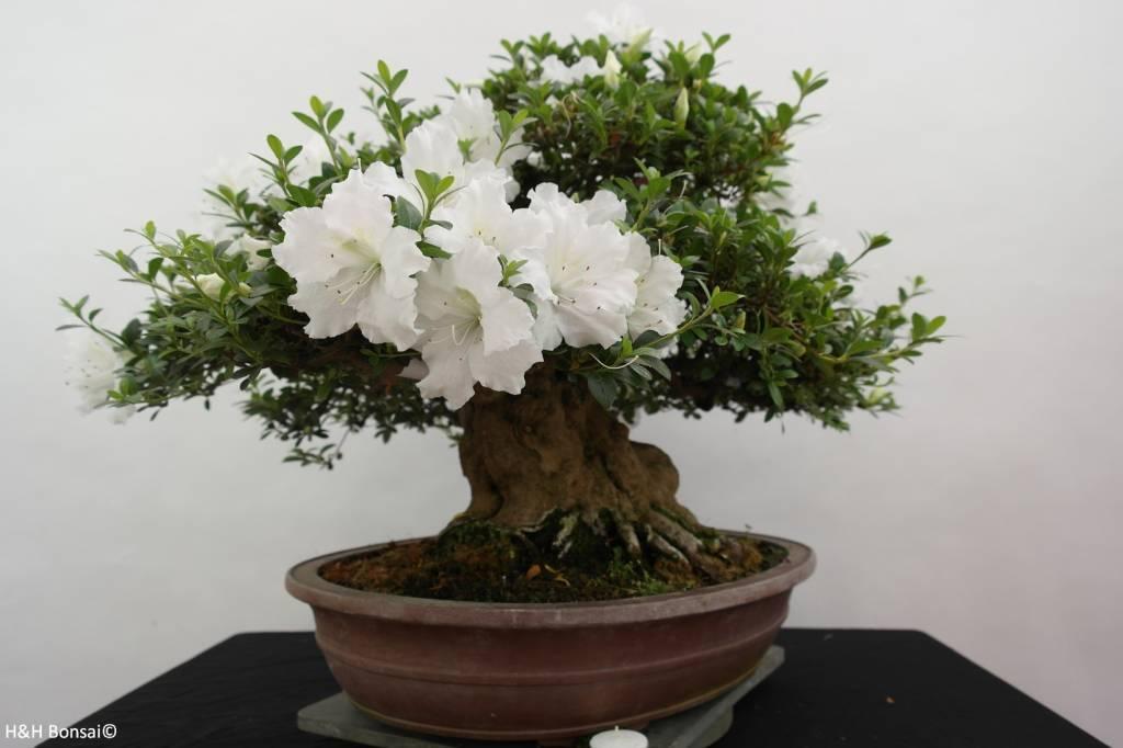 Bonsai Azalée du Japon, Azalea Satsuki Eikan, no. 5879