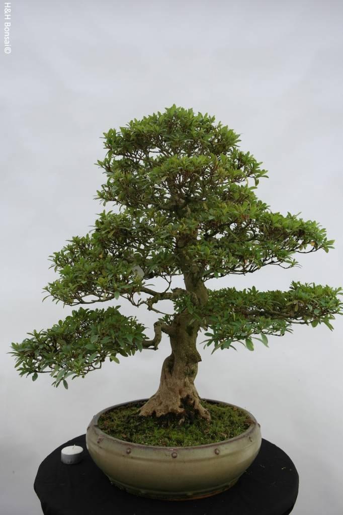 Bonsai Azalea Satsuki, nr. 5872