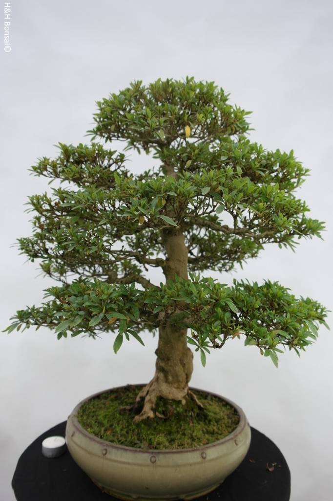 Bonsai Azalée du Japon, Azalea Satsuki, no. 5872