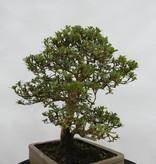 Bonsai Azalea Satsuki, nr. 5692